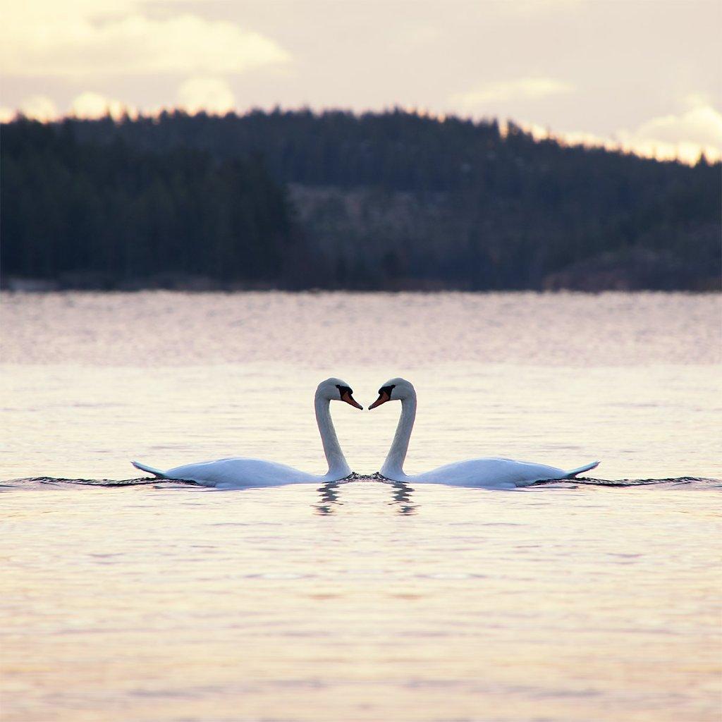Swans-191029-001.jpg